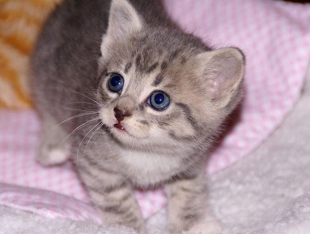 cute rescue grey tabby kitten innocent face