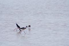 Black-necked Stilt (Shogun_X) Tags: lake oklahoma reserve stilt blacknecked