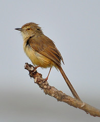 SMALL BEAUTY (kaushik.photo) Tags: nature nikon priniainornata nikkor plainprinia d90 55300mmvr thewonderfulworldofbirds