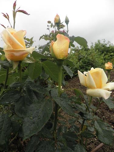 rosas com chuva