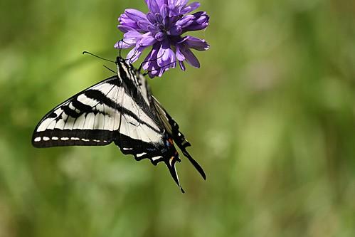1swallowtail dave harper oakley