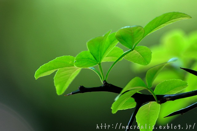 カラタチ [Poncirus trifoliata]