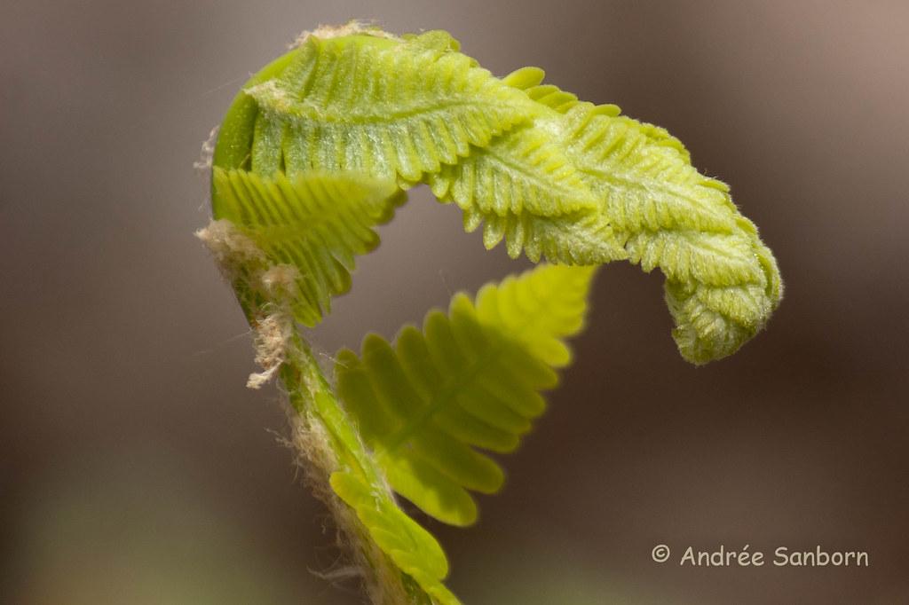 Interrupted fern fiddleheads-2.jpg