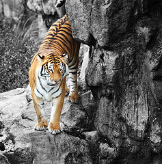 Tiger (Gabriel Robledo) Tags: blackandwhite color blancoynegro rock mammal grey gris tiger tigre roca