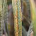 Ug99 stem rust on wheat leaf