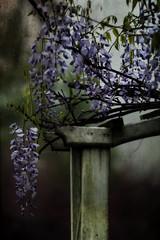 AJC_1362_04122014_text (acomanda) Tags: wisteria textured