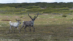 Ren, Hrjedalen, Juni 2016 (Gavia_Stellata) Tags: dggdjur ren reindeer rangifertarandus sverige sweden