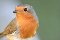 Robin (Pam P Photos) Tags: robin