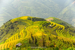 Y9524.0916.Xm Vng.Bc Yn.Sn La. (hoanglongphoto) Tags: asia asian vietnam northvietnam northwestvietnam outdoor landscape scenery terraces terracedfields harvest terracedfieldsinvietnam terracedfieldsinsonla terracedfieldsximvang hill hillside caonon canoneos1dx afternoon sunlight sunnyafternoon terracedscene tybc snla bcyn xmvng phongcnh ngoitri rungbcthang lachn magt buichiu nng nngchiu ngni sni dyi vietnamscenery vietnamlandscape rungbcthangxmvng rungbcthangsnla phongcnhsnla phongcnhbcyn curve curves ngcong abstract trtng canonef70200mmf28lisiiusmlens tophill nhi flank snni