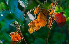 Exhausted (Steve-h) Tags: nature autumn fall brambles thorns old battered colourful colours colour red orange green white bokeh depthoffield riverside riverbank riverdodder ireland europe dublin canon camera lens ef eos steveh