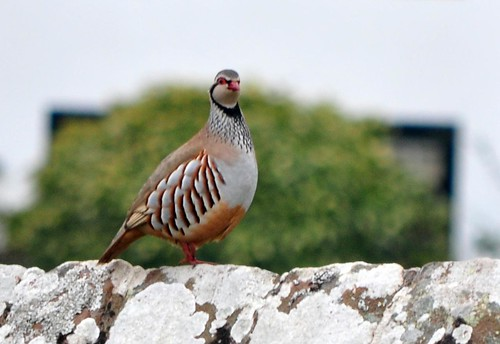 partridge in the garden