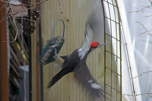 Visitors to our suet cage - Pileated Woodpecker