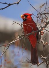 Healthy Young Cardinal (jhaskellus) Tags: arizona bird cardinal superior arboretum thompson boyce boycethompsonarboretum bta boycethompson jhaskellus jhaskell jackhaskell