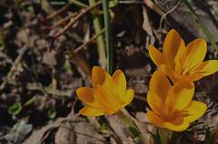 Crocus olivieri (KurtQ) Tags: flowers yellow march crocus bergianska 2011 crocusolivieri bronscrocus