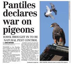 Pigeon article1