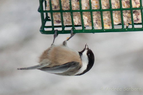 Black-capped chicadee (14 of 20).jpg
