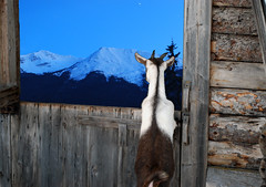 waiting for a  mountain goat (xtremepeaks) Tags: ranch deleteme5 winter deleteme8 sky mountain snow canada mountains deleteme deleteme2 deleteme3 deleteme6 deleteme9 deleteme7 night barn digital forest outside star waiting bc looking deleteme10 north surreal goat dreaming inside smithers deletem4 gettyimagescanada