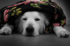 Leave me alone, I've got a hangover (Guido Havelaar) Tags: dog chien cute co dogs cane goldenretriever puppy hound retriever hangover perro hund pup selectivecolor thehangover sweetselectivecolor grcn caneimmagini fotosdoco fotosdelperro