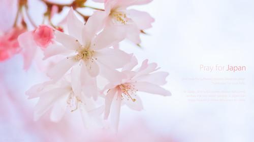 13177 Sakura2011 #1 (pray for Japan)