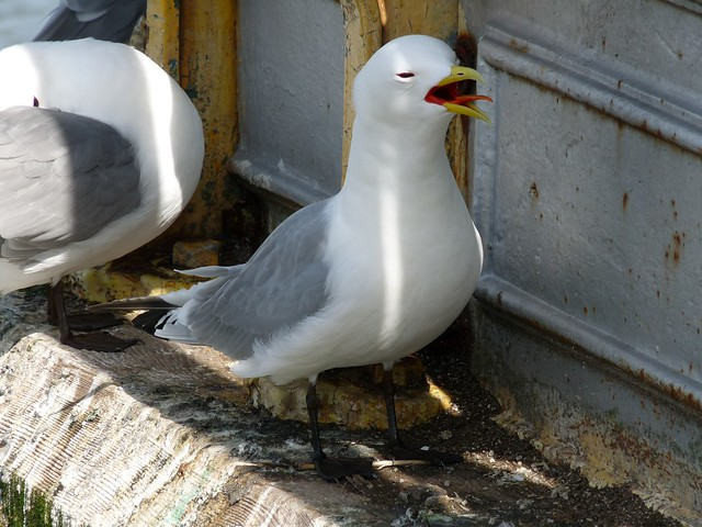 24097 - Kittiwake on Mumbles Pier