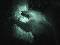 daubentonia madagascariensis (Joachim S. Mller) Tags: animal germany mammal deutschland zoo hessen nightshot frankfurt infrared juvenile frankfurtammain tier babyanimal frankfurterzoo ayeaye infrarot jungtier sugetier zoofrankfurt madagascariensis nachttierhaus noctarium fingertier daubentoniamadagascariensis grzimekhaus daubentonia taxonomy:binomial=daubentonia