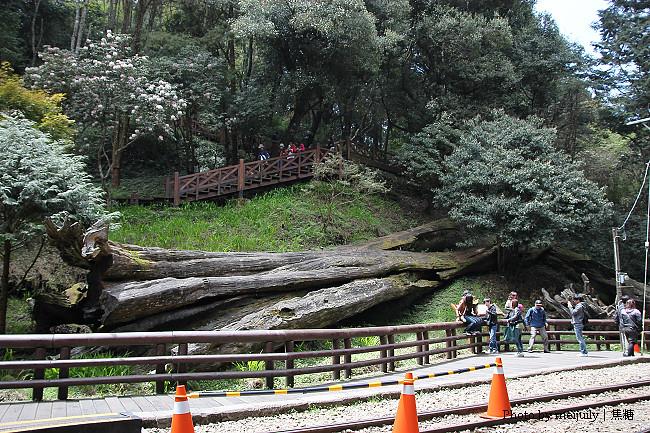 2011阿里山櫻花季晴天版33