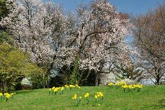 Badeni nartsissivlud (anuwintschalek) Tags: park austria spring april baden niedersterreich daffodils frhling narzissen kevad badenbeiwien kurpark 2011 18200vr nikond90 nartsissid vanagram