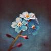 Myosotis Dance (Tanjica Perovic) Tags: flowers blue photography fotograf photographer forgetmenots фотограф srpski fotografija српски фотографија тањицаперовић tanjicaperovicphotography
