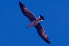 (cienne45) Tags: italy seagulls bird gull liguria cienne45 carlonatale uccelli genoa natale gabbiani seagullsinflight gabbianiinvolo
