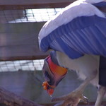 King vulture head and wings thumbnail