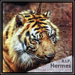 Hermes (M van Eden) Tags: sumatrantiger diergaardeblijdorp rotterdamzoo pantheratigrissumatrae sumatraansetijger rip742011