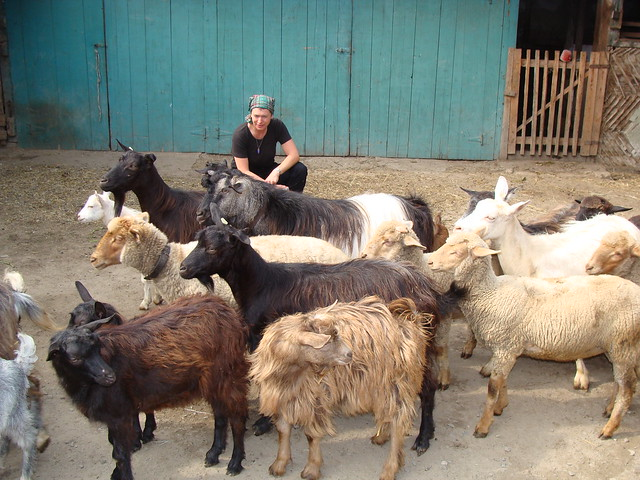 Pista's goats with Angharad