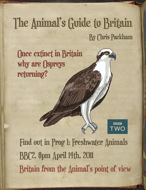 Once extinct in Britain why are Ospreys returning? #AnimalsGuide Q of the Day