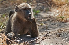 Baboon (Eefje74) Tags: africa game nature animal landscape southafrica monkey bush wildlife capetown cape afrika animales baboon peninsula westerncape capepeninsula kaapstad sudafrica zuidafrika westcape westkaap baboonmatters walkwithbaboons