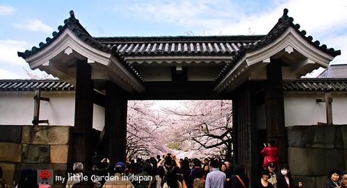 Sakura-in-Tokyo-4