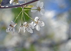 (adf6879) Tags: flowers white virginia spring blossoms nottobeusedwithoutmypermission adfimages