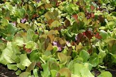 Garden Lettuce Medley