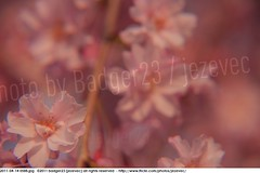 2011-04-14 0588 Sakura, Prunus serrulata, the weeping cherry tree blossoms (Badger 23 / jezevec) Tags: park pink flowers flower tree cherry spring blossom indianapolis blossoms indiana anh bloom  flowering sakura blooms holliday weeping hoa blooming prunus cerezo weepingcherry    kirschblte   jezevec cvijet serrulata shidarezakura prunusserrulata o krsbr   cseresznyevirg japanskt  hoaanho kirsuberjatr badger23 namumulaklak  trenjin    seresang trenjincvijet