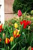 Garden - East Village (Rachel Citron) Tags: nyc newyorkcity beautiful pretty tulips townhouse tony mug gothamist curbed greenwichvillage thenatureconservancy timeoutnewyork nikond40x picturenewyork thelocaleastvillage manhattanusersguide springinthesquare brownstonegarden