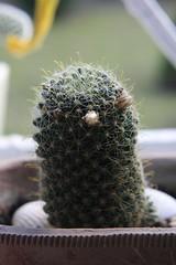 Mammillaria duwei (siwa) Tags: cactus flower cacti kwiaty suculent kaktus kwiat mammillaria kaktusy sukulent mammillariaduwei kwiatykaktusy