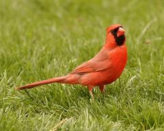 Male Northern Cardinal - Cardinalis cardinalis (mjb8216) Tags: illinois nikon cardinal d2x northern quadcities nikon70200vr