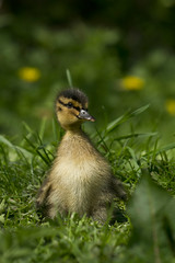 The duckling (Elliot young) Tags: hairy flower water grass duck spring little feathers duckling young