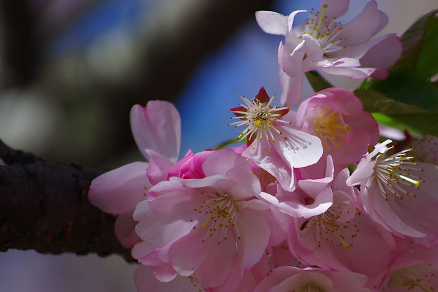 美國新澤西州 Branch Brook Park 櫻花節