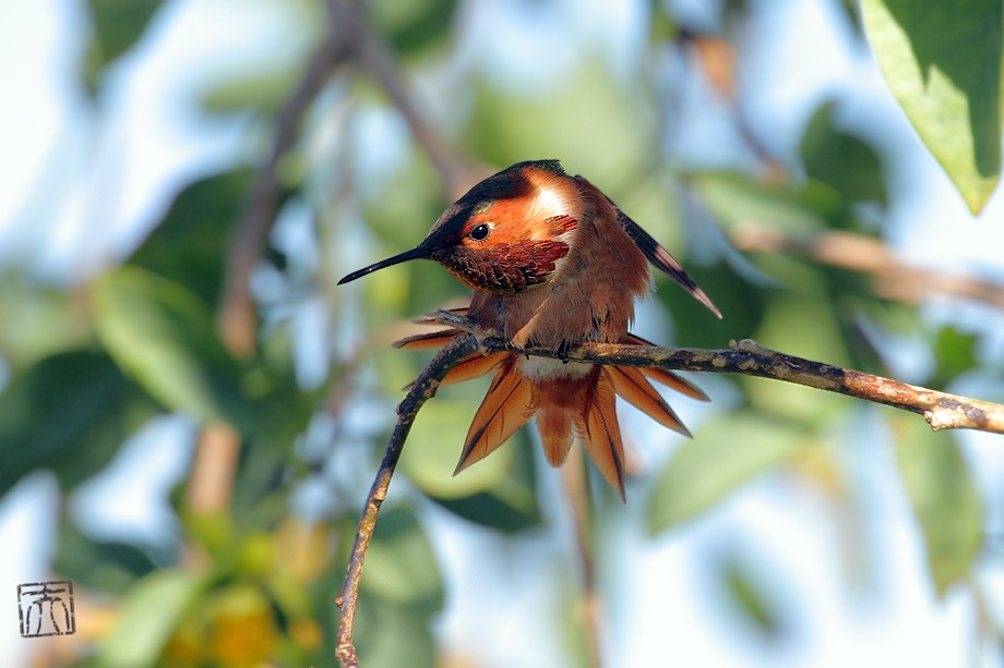 Allen's Hummingbird 041911-2