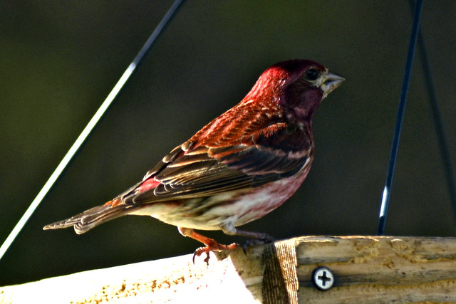 springtime house finch
