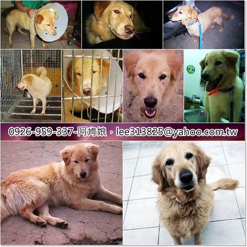 「支援與祝福」從南寮和內湖收容所救出的黃金獵犬和混黃金,0430需要飛紐約的護犬大使,也需要一些禮物,謝謝您,20110423