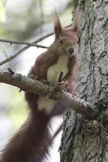 Eichhörnchen, NGID1621132667