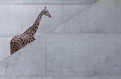 A Natural History of the Giraffe (yushimoto_02 [christian]) Tags: light lines museum altered canon germany munich mnchen geotagged zoo licht arquitectura singapore europe surreal line moderne architektur reality munchen giraffe museo vanishing girafa pinakothekdermoderne pinakothek singaporezoo architekture unrealistic alteredreality canonxsi