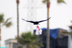 BaggedLunch (mcshots) Tags: california usa bird beach birds trash neck coast losangeles stock flight strangle socal plasticbag crow mcshots twisted