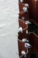 sitting around... (marfis75) Tags: city berlin bird birds wasser cc stadt vgel fluss spree taube doves vogel dreck warten tauben schmutzig ccbysa marfis75 marfis75onflickr
